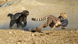 OMG! Honey Badger Rescue Her Baby From Leopard, Lion vs Mongoose - How To Survive The Wildlife