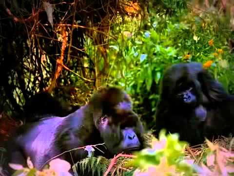 Mountain Gorillas  -2015 HD