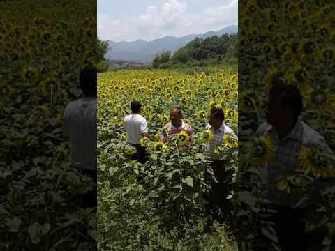 sunflower cultivation in palpa district