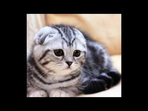 Шотландская вислоухая кошка Описание история, характер