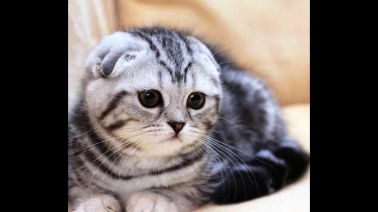 фотки вислоухих котов