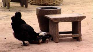 Chickens eating on a farm in Africa.