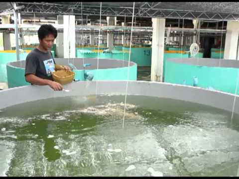 Seafdec's Nursery Culture Of High Value Fishes