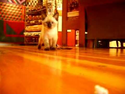 Siamese Manx Kitten with feather and camera