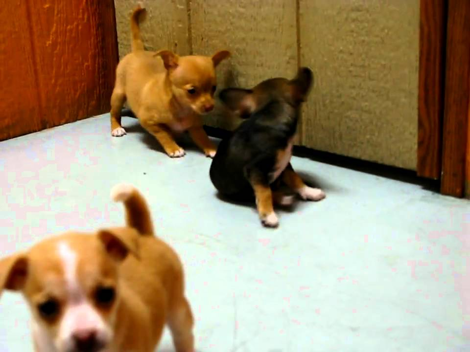 Chihuahua Puppies For Sale In San Diego California Ca