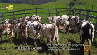 2016: MACHOS COMERCIALES PARA LA CEBA, PESO PROM/ANIMAL 320 KG, ONZAGA, SANTANDER.  L-0268