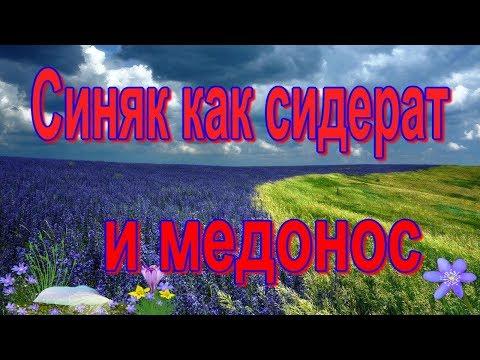Синяк обыкновенный (Échium Vulgáre) агротехника / синяк медонос / синяк сидерат