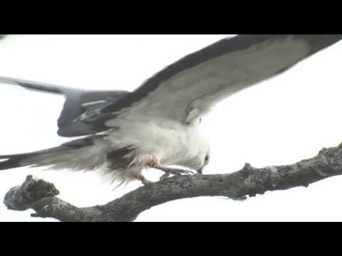 Swallow-Tailed Kite Bird