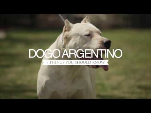 DOGO ARGENTINO DOGS FIVE THINGS YOU SHOULD KNOW
