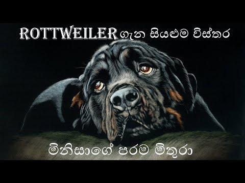 Everything About Rottweiler Sinhala   රොට්වයලර් ගැන සියළුම විස්තර