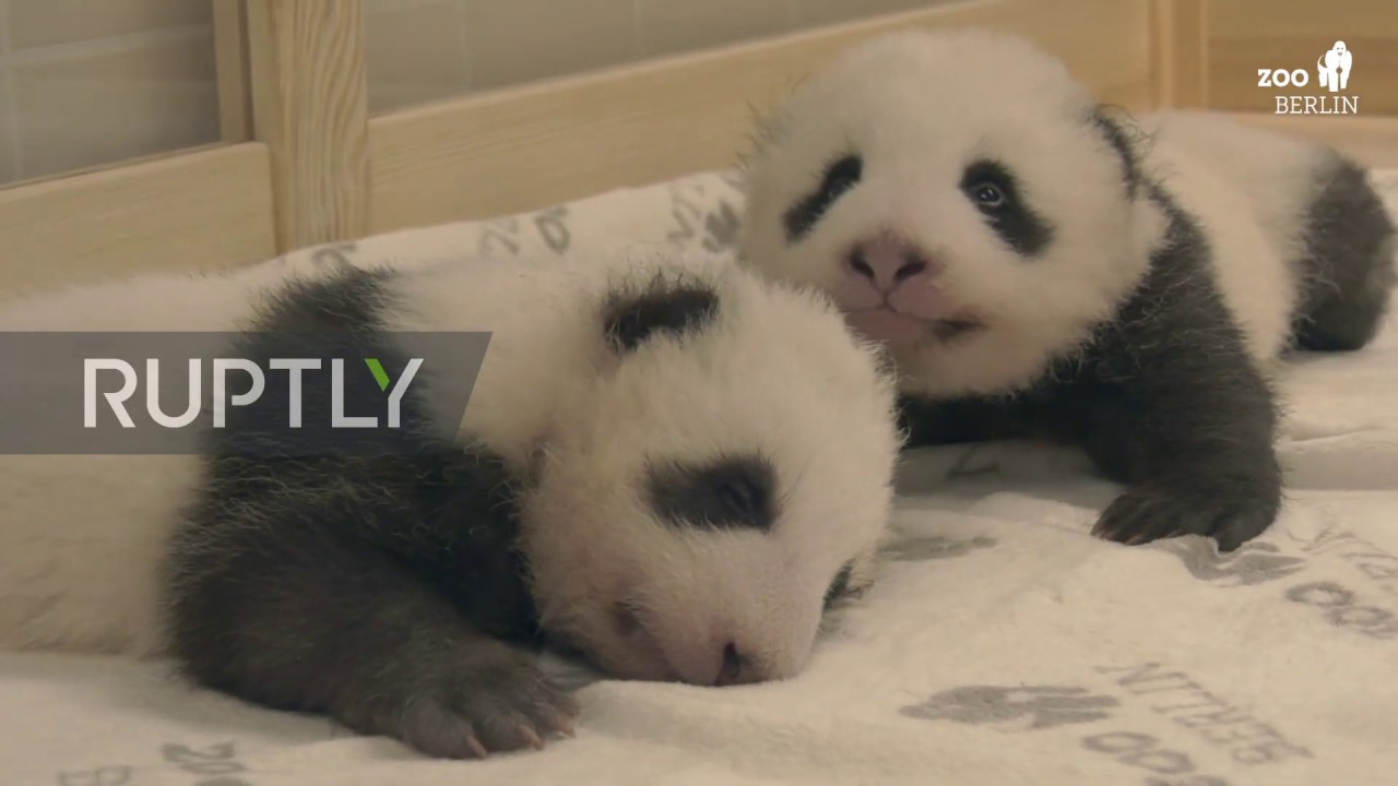 Baby twin pandas meet for the first time at Berlin Zoo
