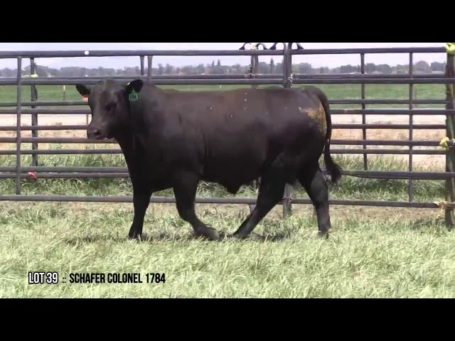 Mid Valley Bull Sale Lot 39
