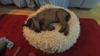 A day in the life of an Irish Terrier puppy