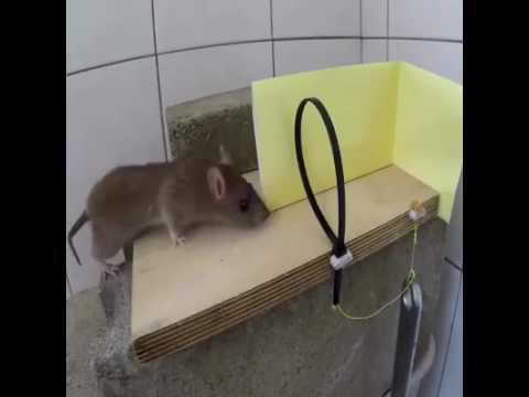 voici comment un rat peut acc der votre wc via les g doovi. Black Bedroom Furniture Sets. Home Design Ideas
