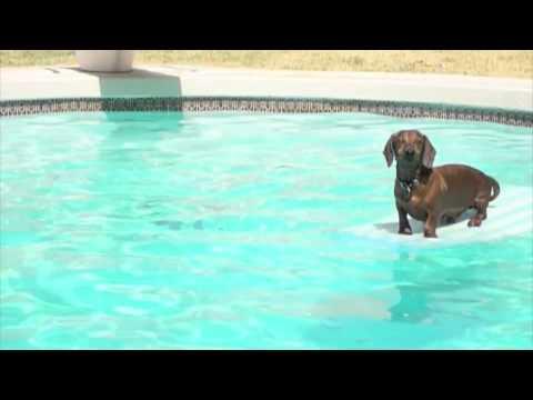 Swimming Dachshunds Youtube
