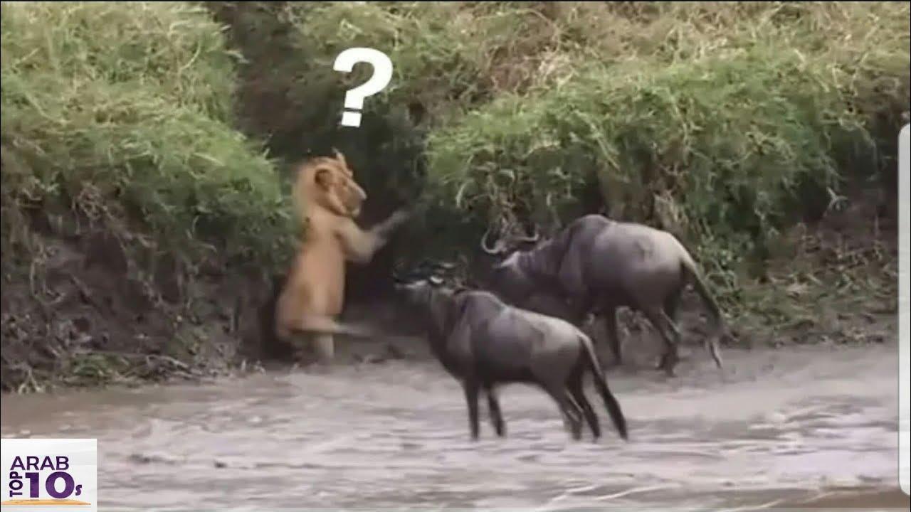 عندما يقع ملك الغابة فريسة فهذا ما يحدث