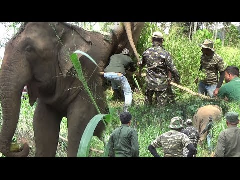 This big wild elephant captured by wildlife officers !