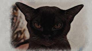 Европейские бурмы – элитная порода кошек. Мнение заводчиков и экспертов