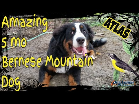 5 mos Bernese Mountain Dog (Atlas)/ 2 week board and train/ Best Delaware Dog Trainer