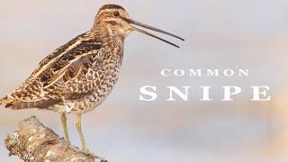 Download Common snipe. Singing bird