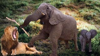 Elephant was giving brith 🥇 Pride of elephant rescue the baby from lion attacking