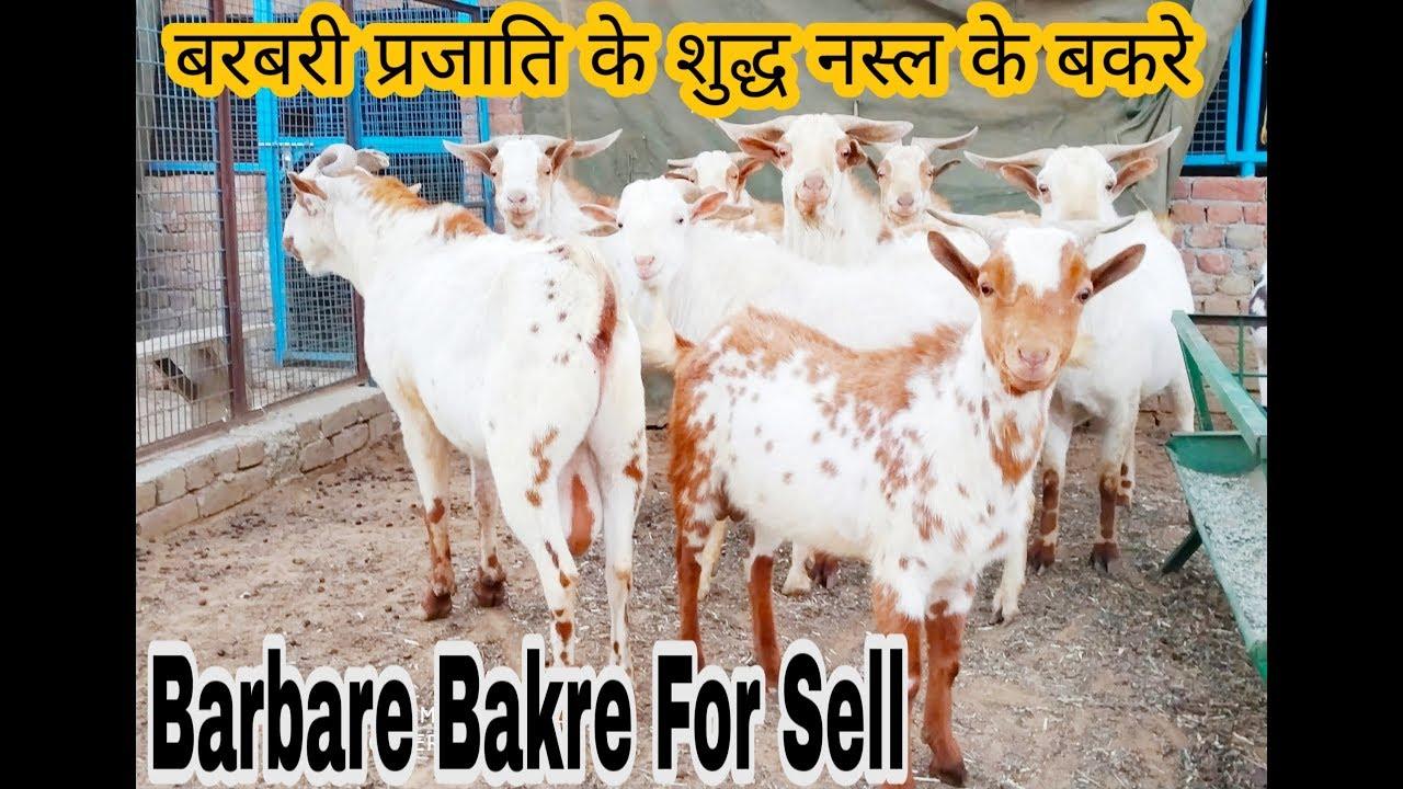 Barbari Aggressive bakre for sell at Monu Qureshi