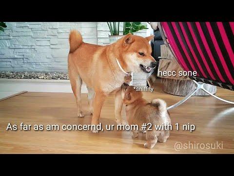 Dey stincc dey stalcc as dey do der wobbly walcc / Shiba Inu puppies (with captions)
