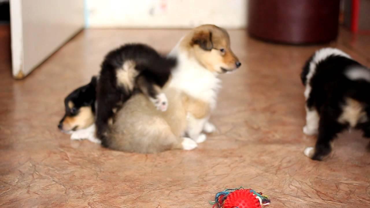 фото колли щенков