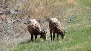 Black Hills Sd ~ Bighorn Sheep Grazing