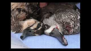 Stop the slaughter: Ban duck shooting