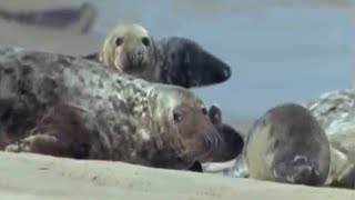 Seal population attracting Great White Sharks? | BBC Earth