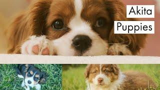 akita puppies  japanese akita  akita dog animal breed