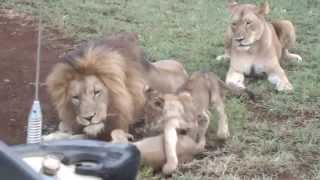 Download Beautiful family of lions @ Amakhosi Safari Lodge Mp3