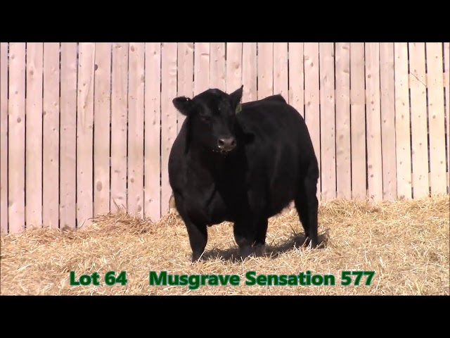 Musgrave Angus Lot 64