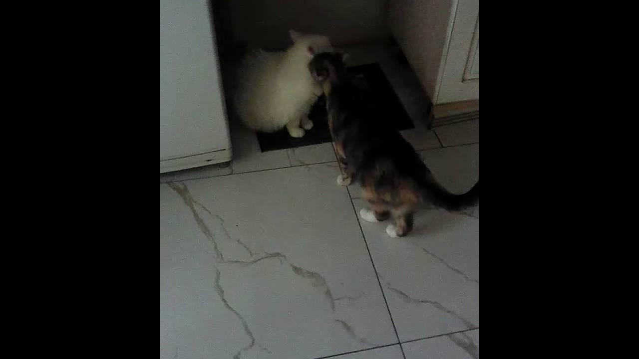 Видео нападения котов