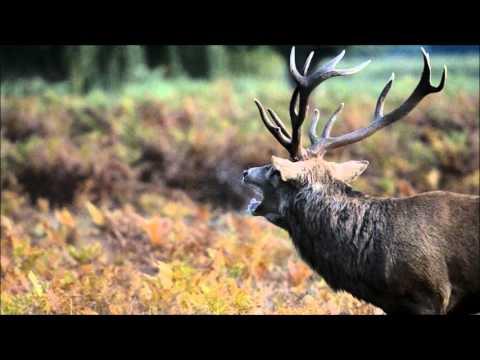 Red Deer Rut 2015