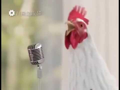 Петух и курицы поют : )