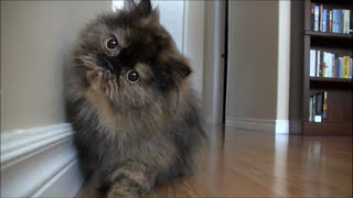 Curious Cat / 興味津々な猫 thumbnail