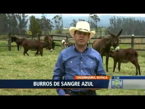 LOS MEJORES BURROS DE COLOMBIA EN NOTICIAS RCN TELEVISION