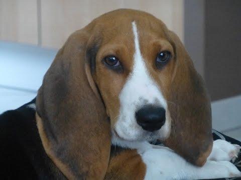 Artesian Norman Basset (Basset Artésien Normand) - Dog Breed