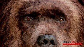 Медведь на улицах Нью-Йорка