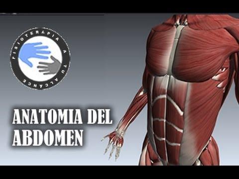 Anatomia y musculos del abdomen - YouTube