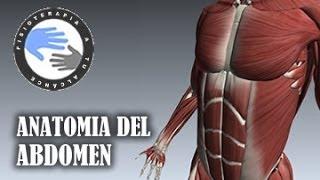 Anatomía del abdomen  /  Fisioterapia a tu alcance
