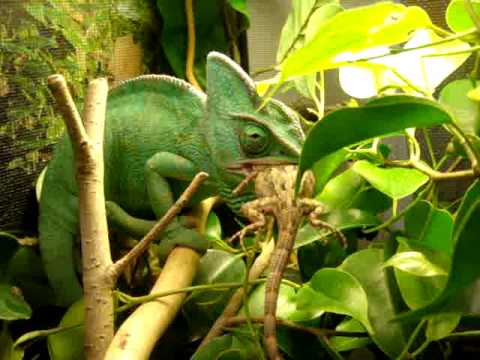 Chameleon eating a lizard