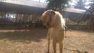 Baixar pure desi hen and goat farm nati koli chicks and farm