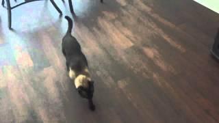 (В) Коты - это гангстеры животного мира =^..^= СИАМСКИЕ КОШКИ