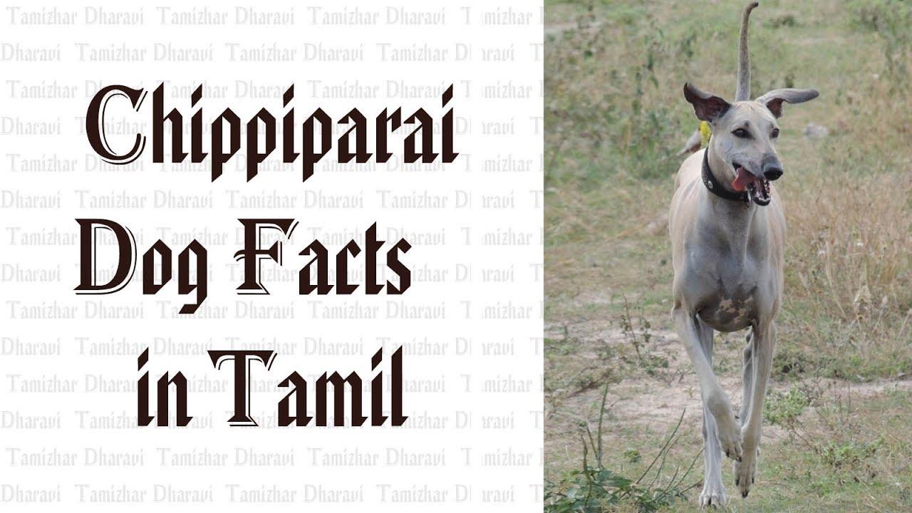 Chippiparai Dog Facts in tamil | Namma Naattu Naaigal Facts in Tamil | Best  Dog | Tamizhar Dharavi