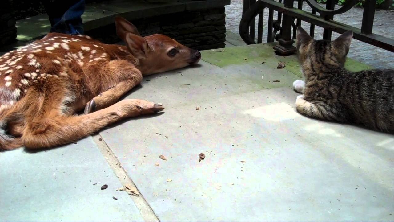 kitten excited to see baby deer on the front porch youtube