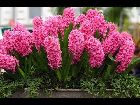 Гиацинт уход до и после цветения