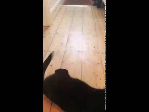 Bombay cat loves his toy